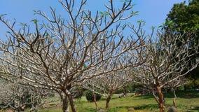 在春天期间的发芽的叶子在本地治里,印度 免版税库存图片