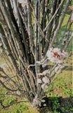 在春天期间的樱桃树绽放 免版税库存照片