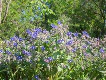 在春天期间,琉璃苣植物蓝星充分开花 图库摄影