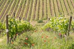 在春天期间的一个葡萄园在托斯卡纳 免版税库存图片