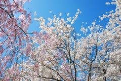 在春天期间的美丽的开花的樱桃树 库存图片