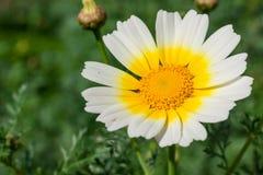 在春天期间,关闭一朵白黄色雏菊花 免版税库存照片