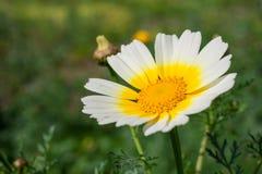 在春天期间,关闭一朵白黄色雏菊花 库存图片