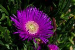 在春天期间,关闭一朵紫色海无花果花由海 库存图片