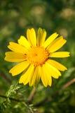 在春天期间,关闭一朵黄色雏菊花 免版税库存图片