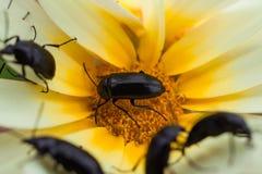在春天期间,关闭在一朵白黄色雏菊花的甲虫 免版税库存图片