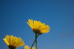 在春天期间,关闭在蓝天的一朵黄色雏菊花 库存图片