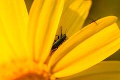 在春天期间,关闭在雏菊花的一个臭虫 免版税库存图片