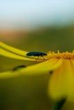 在春天期间,关闭在雏菊花的一个臭虫 库存照片