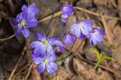 在春天木头的银莲花属 免版税图库摄影