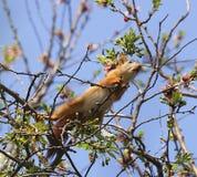 在春天桦树分支的灰鼠 免版税库存照片