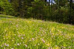 在春天森林边缘的花沼地 免版税库存图片