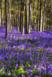 在春天森林风景的惊人的会开蓝色钟形花的草花 免版税库存照片