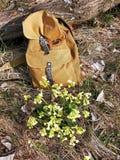 在春天植物期间的背包,报春花 免版税库存图片