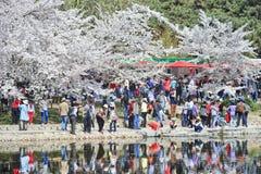 在春天樱桃树开花,北京,中国期间,在玉渊潭公园拥挤 免版税库存图片