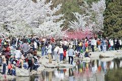 在春天樱桃树开花,北京,中国期间,在玉渊潭公园拥挤 免版税库存照片