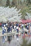 在春天樱桃树开花,北京,中国期间,在玉渊潭公园拥挤 免版税图库摄影