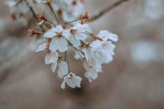 在春天樱桃bloosom的白花 免版税库存图片
