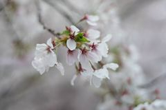 在春天樱桃bloosom的白花 图库摄影