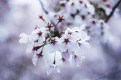 在春天樱桃bloosom的白花 免版税库存照片
