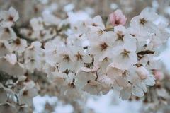 在春天樱桃bloosom的白花 库存图片