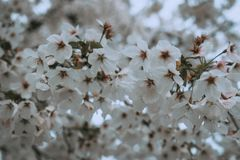 在春天樱桃bloosom的白花 免版税图库摄影