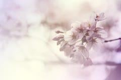 在春天樱花的软的焦点在盛开 库存照片