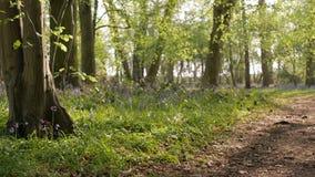 在春天深绿色会开蓝色钟形花的草的草和领域的小径   影视素材