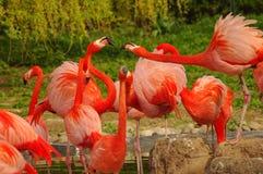 在春天湖的玫瑰色火鸟 库存图片