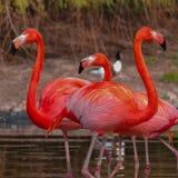 在春天湖的玫瑰色火鸟 免版税库存图片