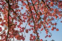 在春天的一棵樱桃树下有在日出期间的蓝天的 免版税图库摄影