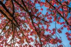 在春天的一棵樱桃树下有蓝天的 库存照片