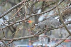 在春天的华盛顿特区的灰鼠 库存照片