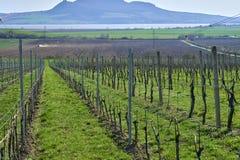 在春天的开头部分Moravian葡萄园 库存照片