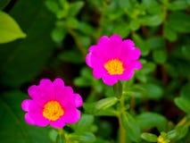 在春天的开花的桃红色花 库存照片