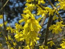 在春天的开花的花 免版税图库摄影