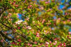 在春天的开花的苹果树 免版税库存图片