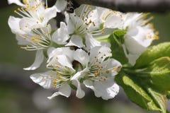 在春天的开花的苹果树 库存图片
