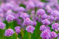 在春天的开花的紫色电灯泡葱在庭院里 库存照片