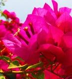 在春天的明亮的桃红色Bouganvillea 免版税库存图片