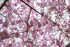 在春天的桃红色樱花在维多利亚, BC,加拿大 库存图片