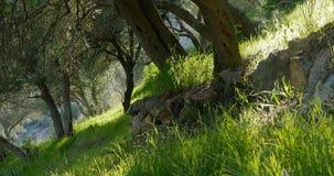 在春天的橄榄树 股票录像