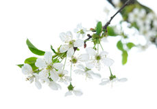 在春天的白色樱桃花 免版税库存图片