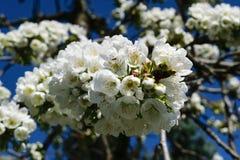 在春天的白色苹果树花花束 图库摄影