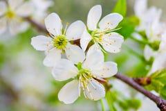 在春天的空白樱桃花 免版税库存照片