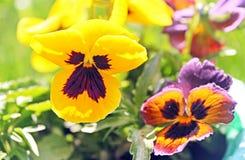 在春天的第一朵蝴蝶花花 库存照片