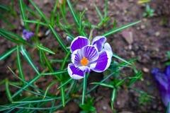 在春天的紫色和白色番红花花 免版税库存图片