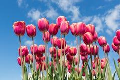 在春天的红色郁金香有蓝天背景 库存图片