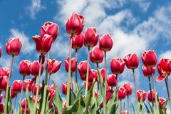 在春天的红色郁金香有蓝天背景 库存照片