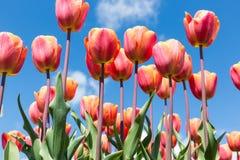 在春天的红色郁金香有蓝天背景 免版税库存照片